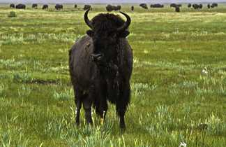 Bison du Zapata ranch , Colorado