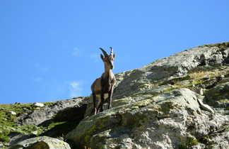 bouquetin dans le massif du Viso, Alpes du sud