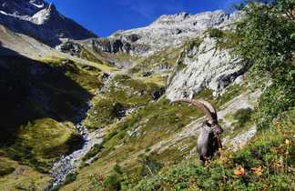 Bouquetin dans les Alpes du nord