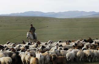 Cavalier à cheval dirigeant un troupeau de moutons, Mongolie