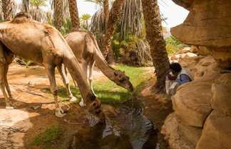 Chameaux se désaltèrent, Mauritanie