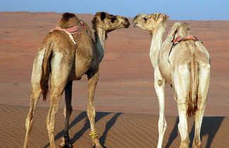 Chameaux Wahibah, Oman