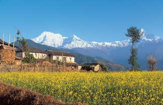 Champ de colza avec vue sur l'Annapurna Sud et le Hiunchuli