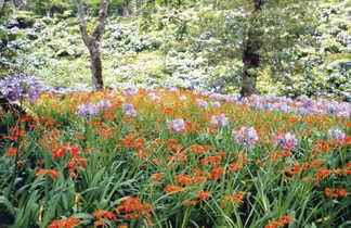 Champs de fleurs sur l'île de Sao Miguel aux Açores