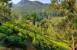 Champs de thé sur les pentes de la montagne