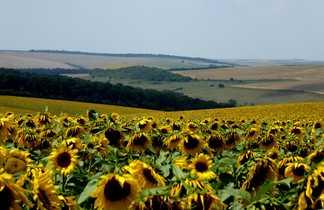 Champs de tournesols dans les plaines bulgares
