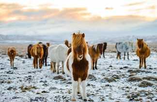 Chevaux islandais, voyage en Islande printemps