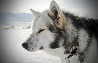 chien de traîneau au Svalbard