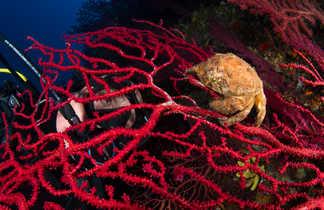 Crabe et plongeur échangent un regard au travers de la dentelle d'une gorgone