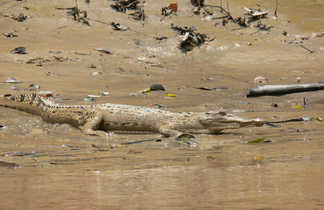 Crocodile dans l'estuaire de Santubong, Sarawak