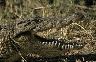 Crocodile sauvage dans la savane