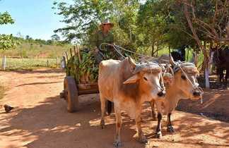 Cubain revenant des champs à Vinales, en charrette tirée par des bœufs