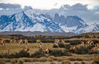 Des guanacos dans le Parc National Torres del Paine, en Patagonie chilienne