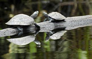 Deux petites tortues qui se font face