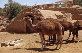 Dromadaires dans un village d'Iran