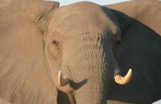 Éléphant en Afrique du Sud