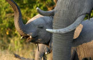 Éléphanteau à côté de sa maman au Botswana