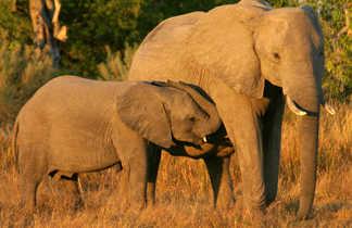 Éléphanteau avec sa maman au Botswana