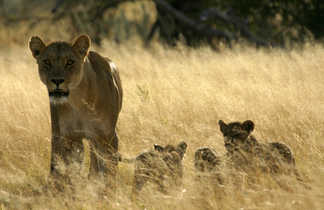 Famille de lions dans la savane
