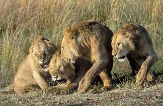 Fauves dans la brousse en Tanzanie