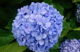 Fleur de Madère