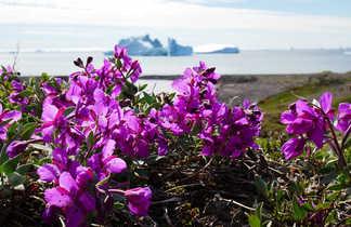 Fleurs au Groenland l'été
