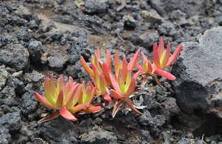 Fleurs grasses sur le volcan Capelinhos, Faial
