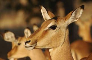 Gazelle dans la Savane