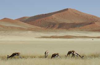 Gazelles dans le désert du Namib