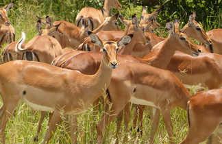 Gazelles de Grant dans le Tarangire