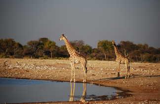 Girafe au bord d'un lac