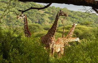 Girafes au Parc National de Manyara