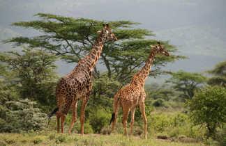 Girafes dans les parcs de Tanzanie