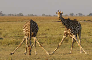 Girafes qui se baissent pour manger