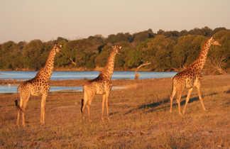 Girafes le long de la rivière Chobe au Botswana