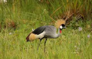 Grue dans le parc de l'Akagera en Afrique du Sud