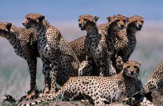 Guépards dans la savane en Tanzanie