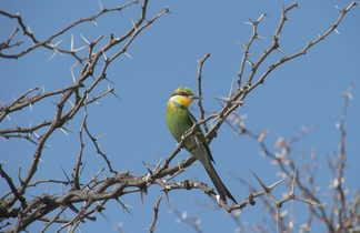 Guêpier sur une branche en Afrique du Sud