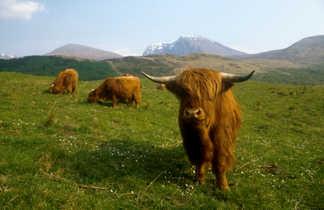 Highland vache écossiase