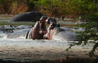 Hippopotame au PN Serengeti