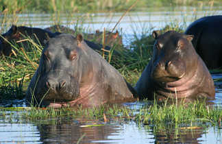 Hippopotames au Botswana