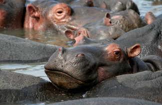 Hippopotames  dans la province du KwaZulu-Natal en Afrique du Sud