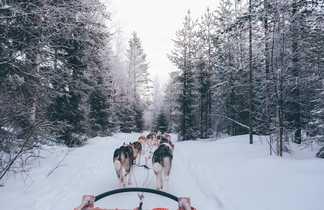 Chien de traineau en Finlande