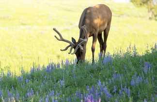 Jeune caribou dans les rocheuses au Canada
