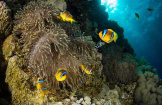 Juste sous la surface, les poissons clowns jouent dans leurs anémones