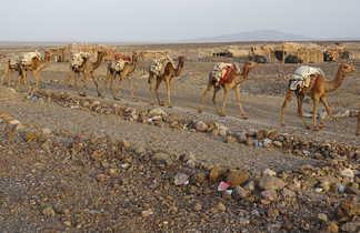 La caravane de sel arrivant dans le village d'Amadela, région Afar en Ethiopie