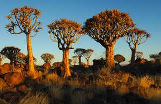 La forêt de Kokerboom dans le sud Namibien