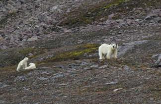 Ours polaires et ses oursons en Arctique, Spitzberg