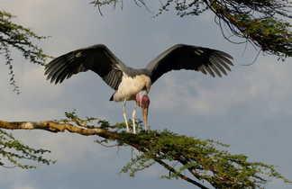 Le marabout dans toute sa splendeur au Serengeti