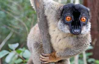 Lémur Brun , lémurien de Madagascar